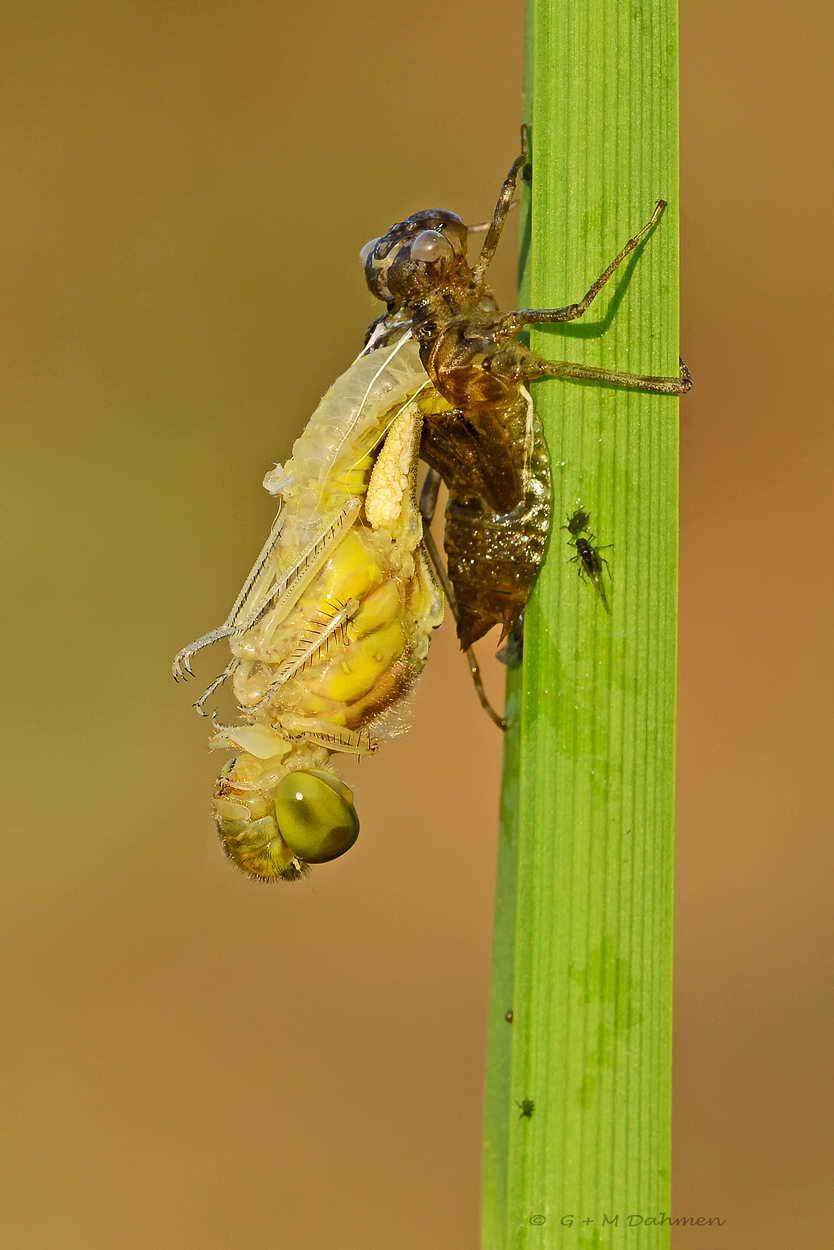 Heidelibelle - Libelle im Schlupf