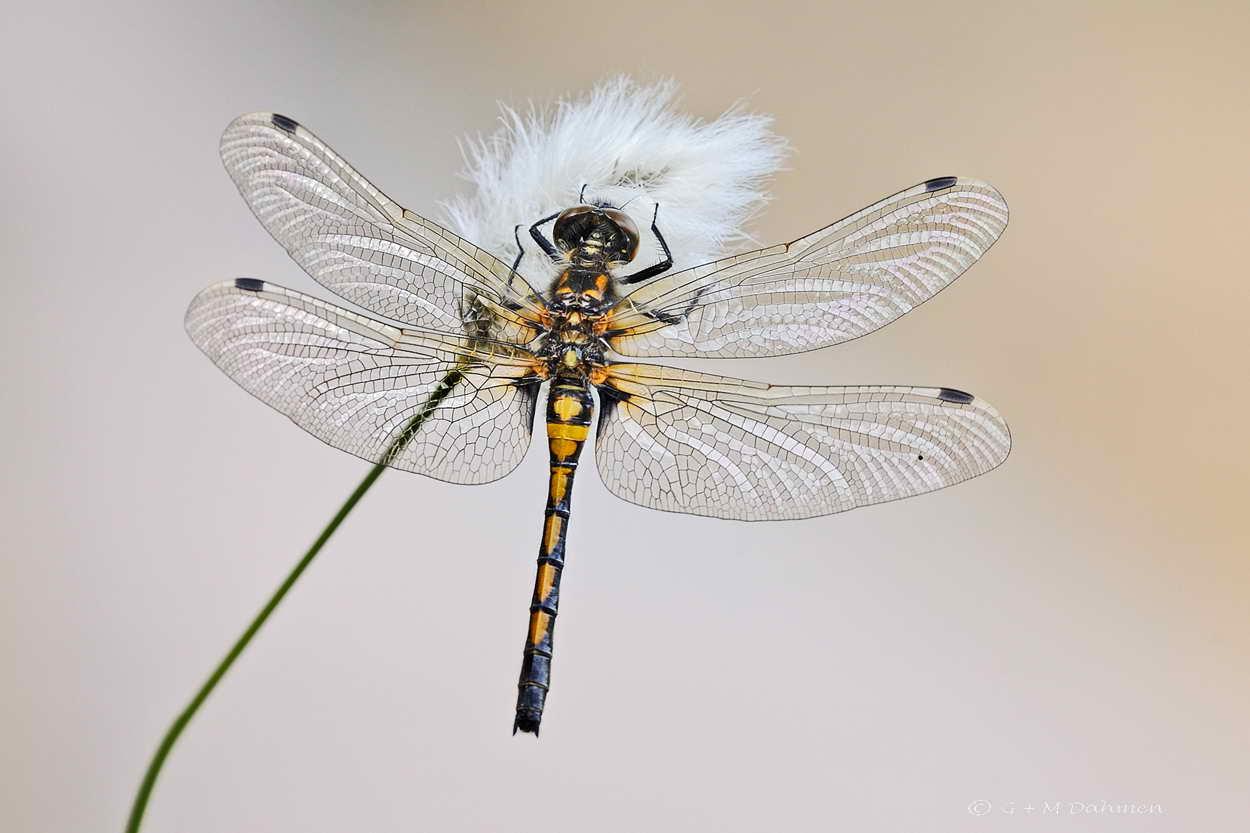 Große Moosjungfer Libelle