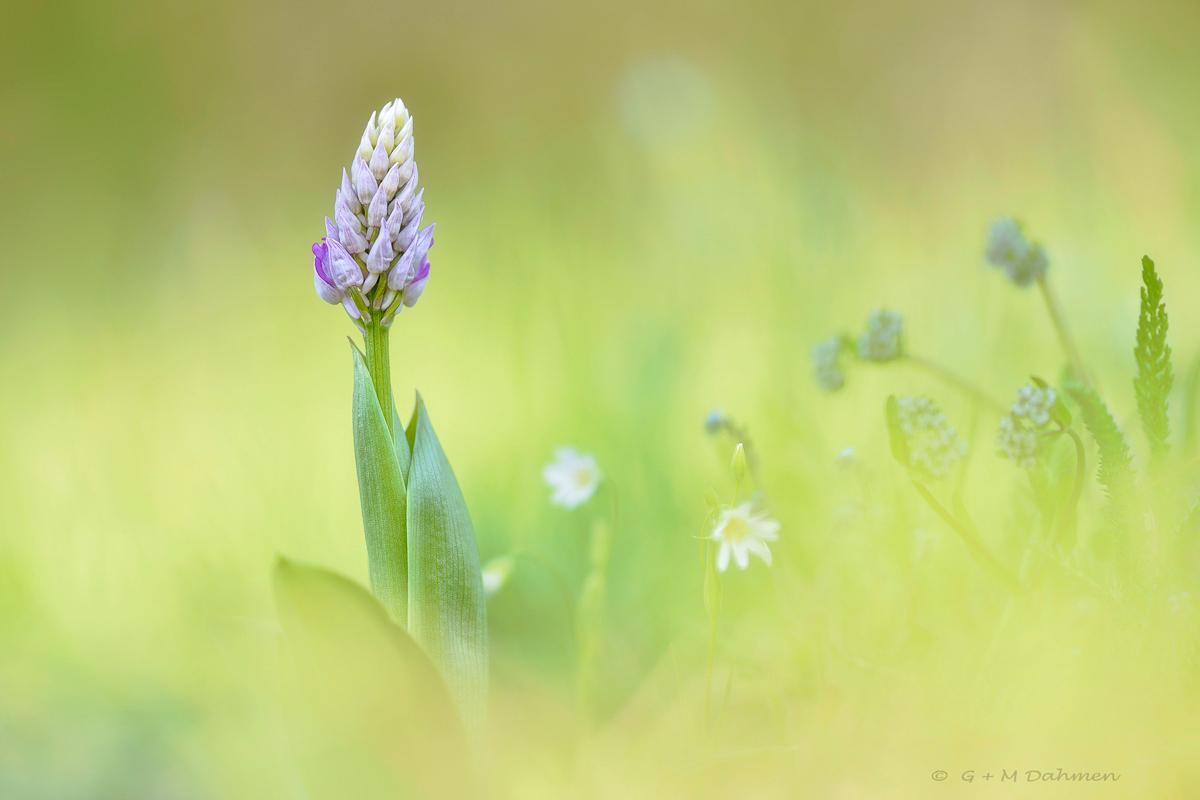 Heimische Orchideen Fotografie und Naturfotografie