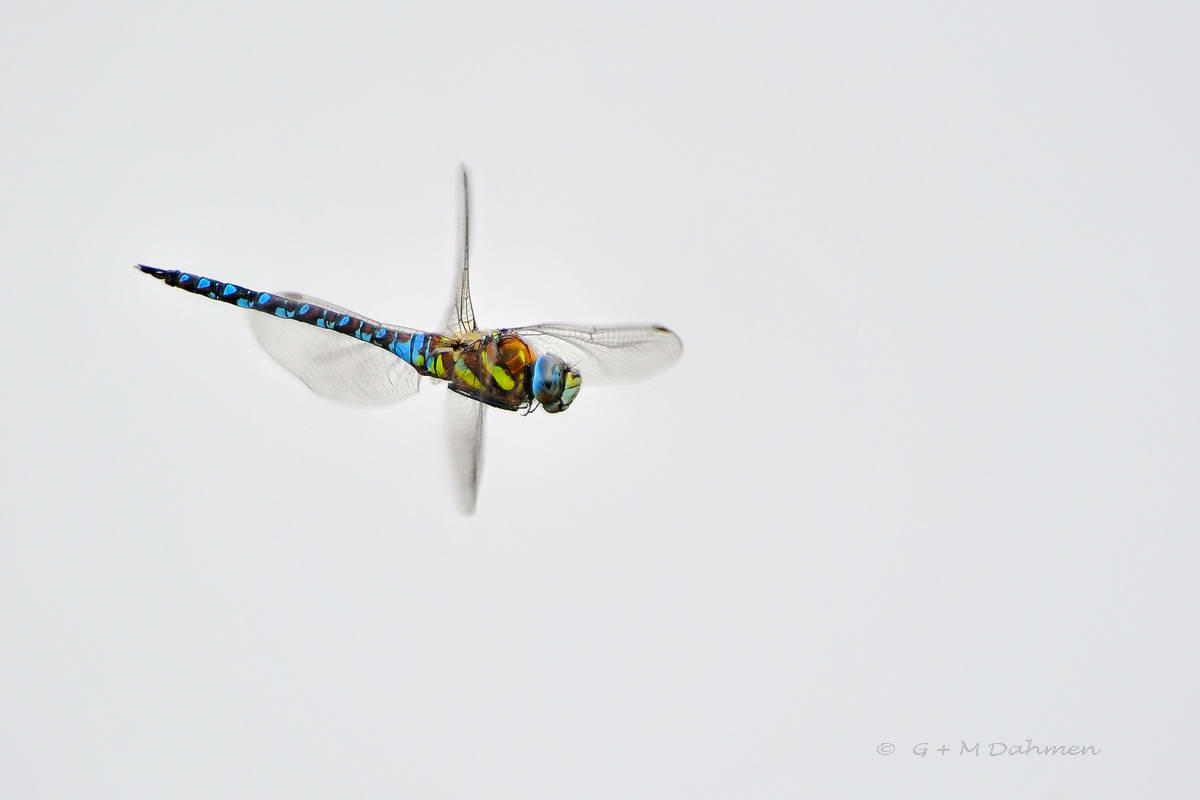 Torf Mosaikjungfer Libelle