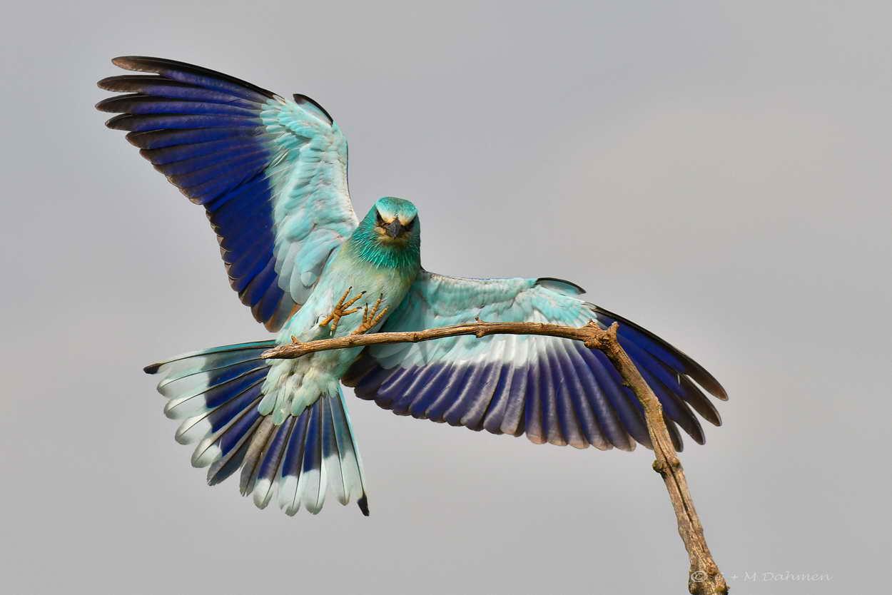 Blauracke im Flug