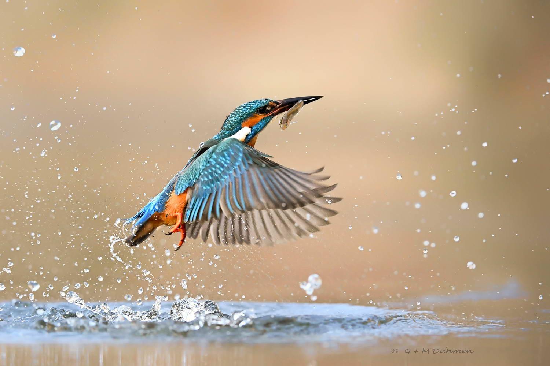 Eisvogel beim Fischen