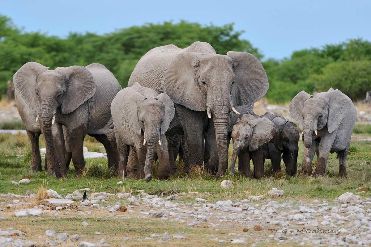 Elefantenherde zum Wasserloch