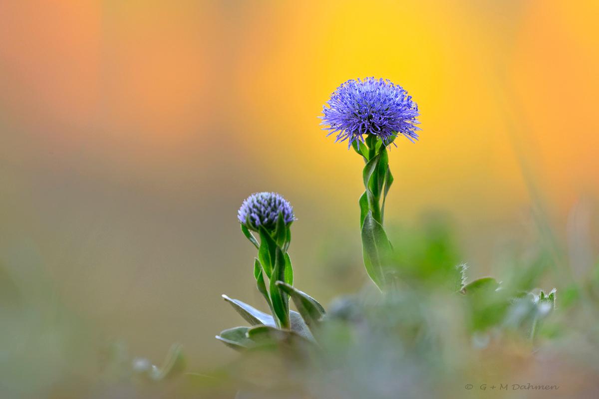 Gewöhnliche Kugelblume