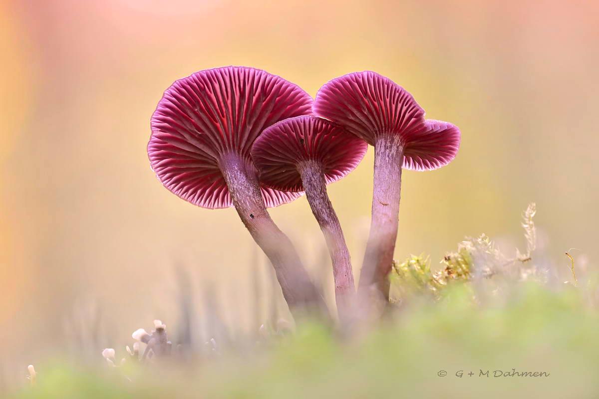 Violetter Lacktrichterling