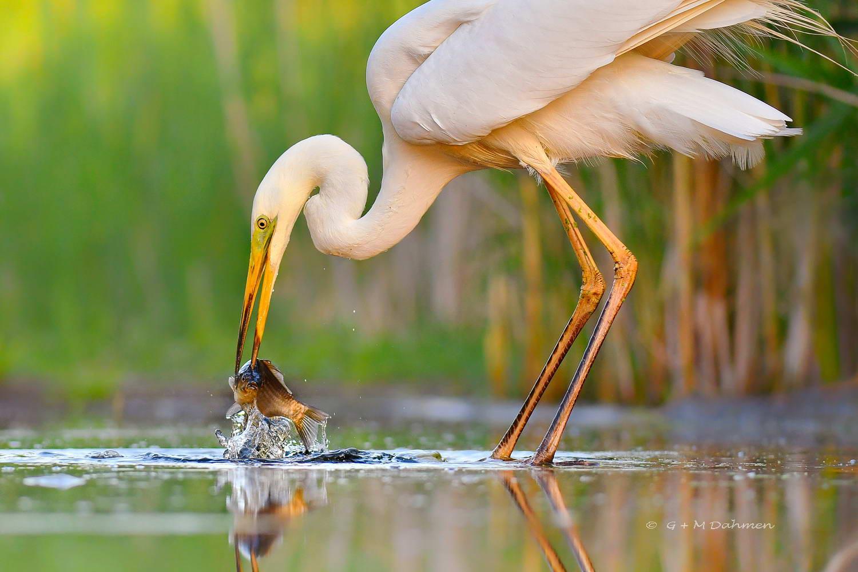 Silberreiher beim Fischen