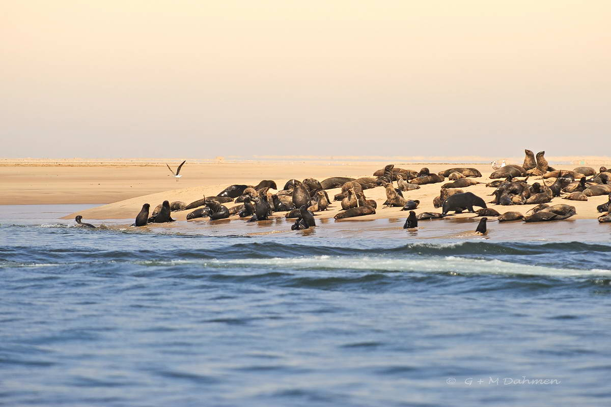 Südafrikanischer Seebären