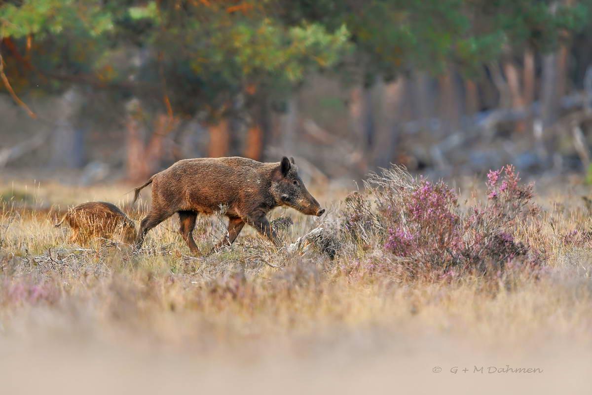 Wildschwein in der Natur