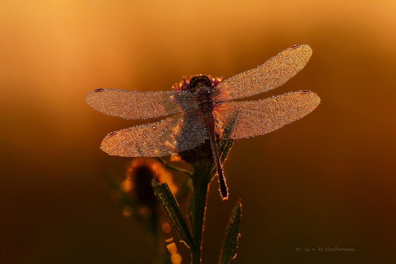 Heidelibelle im Morgenlicht