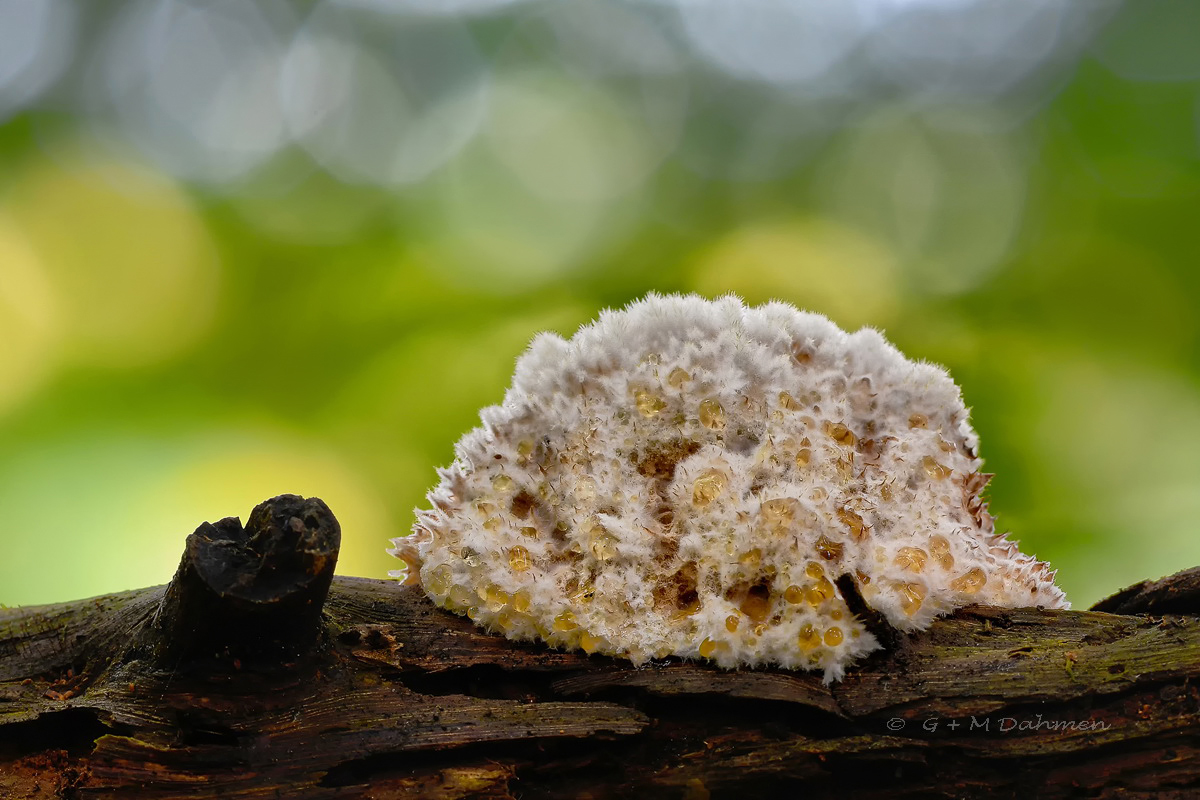 Zitronengelbes Holzbecherchen